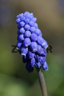 Kleine Traubenhyazinthe, Muscari botryoides
