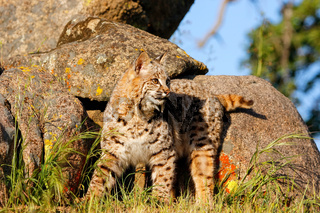 Bobcat standing by rocks