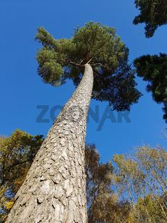 Kiefer; Pinus; Pine; Nadelbaum