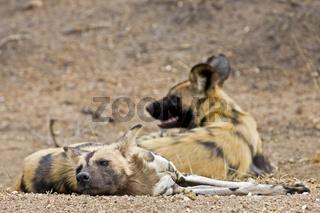 Afrikanische Wildhunde (Lycaon pictus), Krüger Nationalpark, Suedafrika, Afrika, African wilddog in Kruger National Park, South Africa