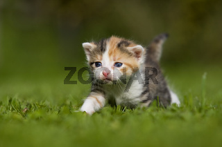 kaetzchen 3 Wochen auf Wiese, kitten 3 weeks on a meadow