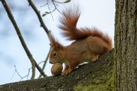 Red Squirrel 34