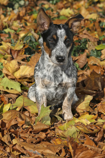 Cattle Dog_Jack Russell Mischling