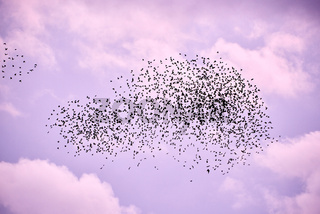 flock of birds in lilac autumn sky