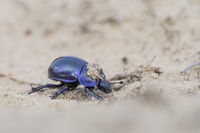 Earth-boring dung beetle, Trypocopris vernalis