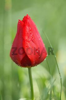 Tulpe, Tulipa, Tulips, Insel Mainau, Deutschland, Germany