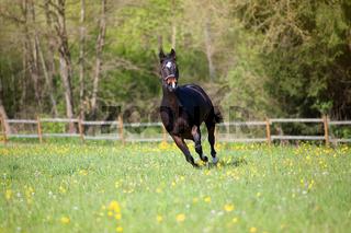 Quarter Horse frei im Galopp im Sommer auf der Wiese