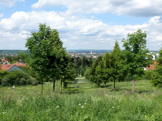 Tilia platyphyllos, Sommerlinden, lime trees