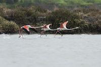 Greater flamingo starting, Phoenicopterus roseus, Rosaflamingo