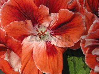 Pelargonium, Englische Edel-Geranie