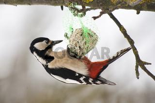 Buntspecht (Dendrocopos major) im Winter / great spotted woodpecker (Dendrocopos major) in winter