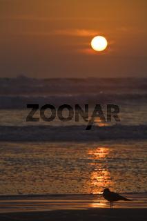 Moewen im Sonnenuntergang am Strand von Arica, Pazifischer Ozean, Chile, Sunset with sea gulls at the beach from Arica, Pacific coast