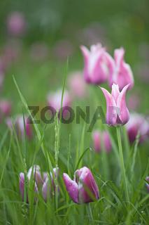Tulpen, Tulipa, Tulips, Insel Mainau, Isle, Deutschland, Germany