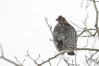 resting on thin branches... Ruffed grouse *Bonasa umbellus*