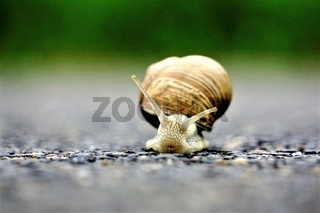 Front close up of europaean vineyard snail