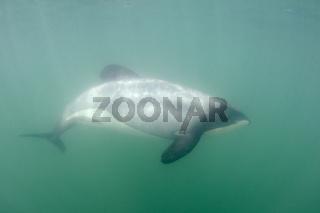 Hectordelphin, Cephalorhynchus hectori, schwimmt im Meer vor der Kueste der Catlins. Der Hectordelphin ist endemisch in Neuseeland und vor allem durch Fischernetze bedroht, in denen er oft gefangen wird. Er ist ausserdem der kleinste aller im Meer lebende