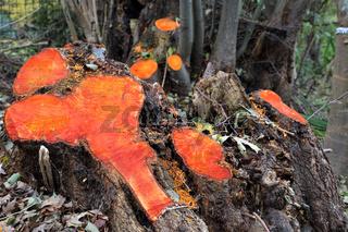 Baumstümpfe von Erlen, nach dem Fällen orange verfärbt