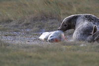 Grey Seal Giving Birth To Pup (Halichoerus grypus) Helgoland Germany