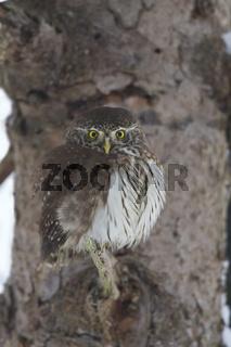 Sperlingskauz, Glaucidium passerinum, Eurasian pygmy owl