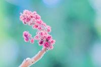 Rhus typhina single flower.