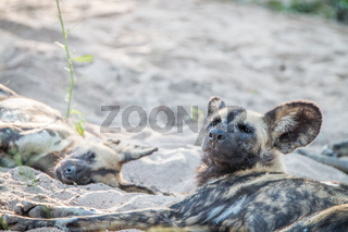 Two African wild dogs relaxing in the sand.