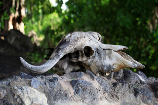Cow Skull on a Rock