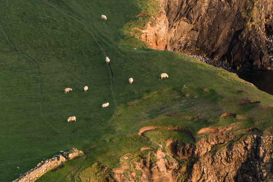 Sheeps grazing on the rock