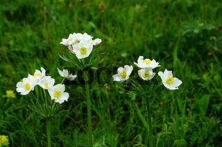 Narzissen-Windröschen, Anemone narcissiflora, Narzissenblütiges Windröschen, Alpen-Berghähnlein