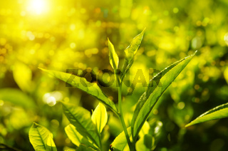 Close up tea leaf