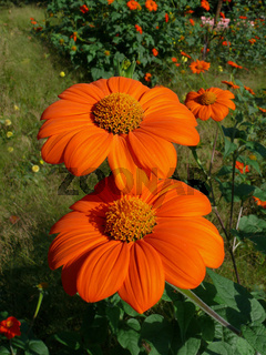 Tithonia rotundifolia, Tithonie, mexican sunflower