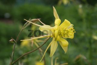 Aquilegia chrysantha, Akelei, Columbine