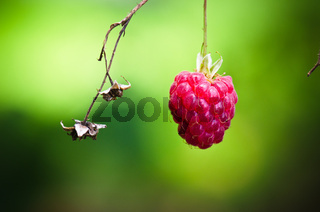 Berry of a raspberry in a garden, a close up