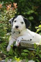 Dalmatian puppy, five weeks old, in a garden