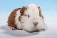 lying guinea pig baby