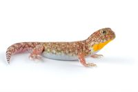 African barking gecko