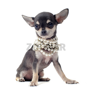 puppy chihuahua with pearl collar