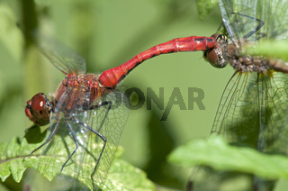 Tandem-Paar der Blutroten Heidelibelle (Sympetrum sanguineum)