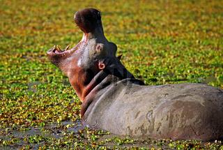 Hippo im South Luangwa Nationalpark, Sambia; Hippo at South Luangwa, Zambia