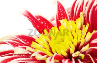 Red Chrysanthemum Closeup