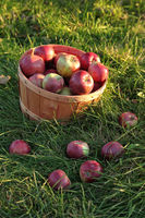 Basket of apples in the orchard