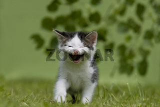 Katze, Kaetzchen lachend, miauend auf Wiese, Cat, kitten laughing, miaowing on a meadow