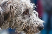 Profile portrait of a wolfhound