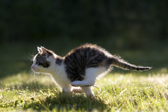 Cat, kitten running on a meadow in the back-light
