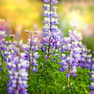 Flowers on Alaska