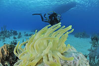giant anemone and coralreer and scuba diver
