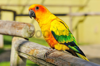 Tropical yellow parrot with green wings,