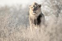 Dominant Kalahari Lion