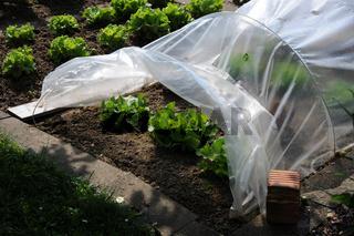 Lactuca sativa, Kopfsalat, Salad, Folientunnel