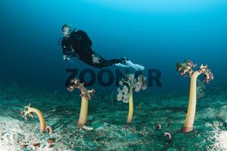 Taucher und Dolden-Weichkorallen