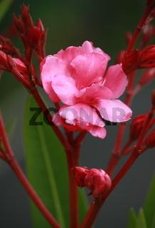Orleander, Blüte